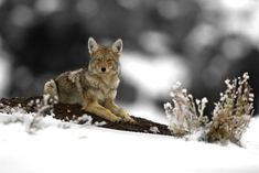 The Yellowstone Look - Lamar valley Coyote sitting pretty