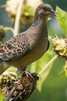An oriental turtle dove is eating sunflower seeds. Pretty Birds, Beautiful Birds, Animals Beautiful, Mourning Dove, Dove Bird, Turtle Dove, Small Birds, Bird Species, Nature Animals