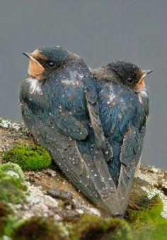 2 jonge...Boeren Zwaluwen