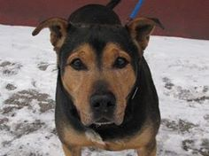TO BE DESTROYED   2/6/14  Brklyn Ctr  TEDDY A0990209  MALE BLK/TAN GERM SHEP MIX 9 yrs STRAY  1/23/14 ~SENIOR ALERT ~ A low maintenance dog. His go w/ the flow and enjoy every moment personality is what attracts people to him and makes him a volunteer fav!. Friendly toward everyone, including fellow dogs. Hassle-free on the leash,  likely housetrained, making him even more appealing. For those who are looking for a well-trained, easygoing, middle-aged dog, Teddy is the one for you.