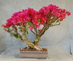 A bonsai tree made out of bougainvillea