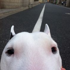 Bull Terrier with a unicorn horn. English Bull Terriers, Bull Terrier Dog, Best Dog Breeds, Best Dogs, Pitbull, Puppies And Kitties, Doggies, Bully Dog, Terrier Breeds