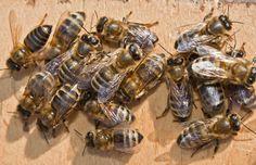 Carpenter Bees Sting #carpenterbee  #bumblebee
