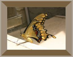 A huge tiger swallowtail butterfly. Perfect detail in this shot. #butterfly