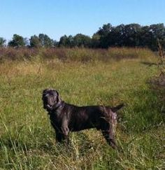 Louis is an adoptable Neapolitan Mastiff Dog in Rayville, LA. You can fill out an adoption application online on our official website. All of our adoptable pets are housed with foster families. When a...