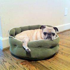 seriouslymabelgreetings:  Does this bed make my pug look big?