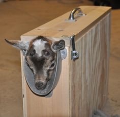 Kid in a Disbudding Box  #goatvet will disbud kids and show goat breeders how it is done