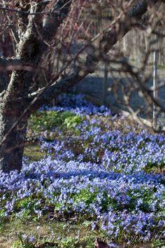 Scilla i vårträdgårdar | blomsterverkstad
