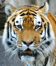 Animals often show mirror or bilateral symmetry, like this tiger.