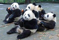 Image: Giant pandas eat carrots at Bifeng Gorge Breeding Base of Wolong Giant Panda Protection and Research Center in Ya'an (© CHINA DAILY//Reuters)