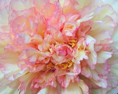 Tree Peony, yellow and pink by Tie Guy II, via Flickr