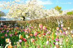 Keukenhof garden - Holland www.aruralchiclifestyle.com Amsterdam Travel, Garden Projects, Holland, Places, Trips, Interior, Tulips, Gardens, The Nederlands