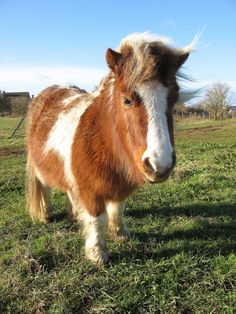 A Wee Itty Bitty Pony Ditty by Pyrit on Cute Overload:   The bonny pony from near Glasgoo Aye, she kinna take much moo. If she dinna pluck her auld eye broos She'd look aboot like a highland coo.