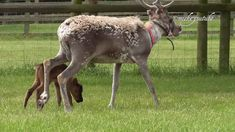 Reindeer Baby Trying To Keep Up With Mum