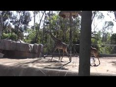 San Diego Zoo Giraffes.  Filmed at the San Diego Zoo with a Panasonic HC-V100M camera in 1080P HD.  Please share this video with others and be sure to subscribe to IrixGuy's Adventure Channel (http://youtube.com/IrixGuy) and enjoy all of my other exciting videos too!