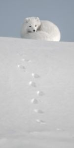 Photo: Vincent Munier Paint Photography, Wildlife Photography, Photo Animaliere, Photo Art, Ellesmere Island, Frowny Face, Munier, Victoria Island, Arctic Fox