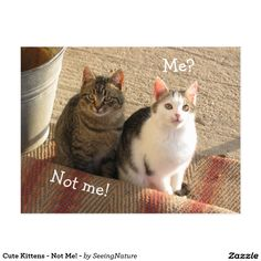 Cute Kittens - Not Me! - Postcard