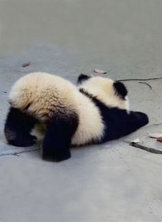 ♔ Baby panda <-- Cute little fluffle butt! ♔ Baby panda <-- Cute little fluffle butt! Baby Animals Super Cute, Cute Little Animals, Cute Funny Animals, Cute Cats, Adorable Kittens, Big Cats, Big Animals, Fluffy Animals, Fluffy Cows