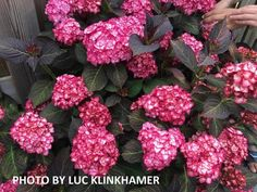 Hydrangea macrophylla 'Miss Saori' Dark Foliage Hydrangea Hydrangea Varieties, Hydrangea Macrophylla, Root System, Growing Tree, Companion Planting, Landscaping Plants, Planting Flowers, Roots, Floral Wreath