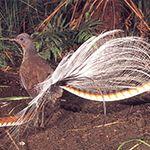 Uccelo lira comune - animali Australia