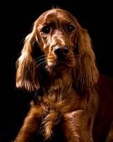 red setter - Yahoo Image Search results