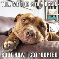 This special pitbull puppy will make you happy. Dogs are incredible companions. Funny Animal Memes, Dog Memes, Cute Funny Animals, Cute Baby Animals, Funny Dogs, Funny Memes, Cute Puppies, Cute Dogs, Dogs And Puppies