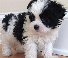 Pic Only Maltipoo Black And White So Sweet Grr Animals