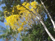 Ipê Amarelo (tabebuia serratifolia) no sitio.