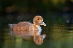 Duck by Robert Adamec on 500px