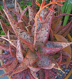 Pink Blush Aloe Plant - anyone know if this will survive winter on Vancouver Island?