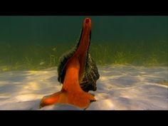 Florida State Shell: Horse Conch Worlds Deadliest - Hermit Crab vs. Conch video