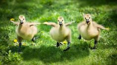 baby goose - Google Search