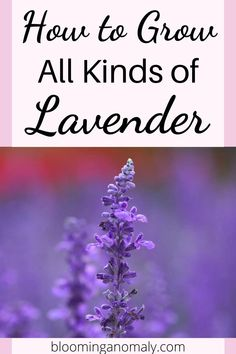 Blooming Anomaly | Gardening   Blogging Tips Lavender Uses, Dried Lavender Flowers, Growing Lavender, Growing Peonies, Lavender Fields, Purple Flowers, Gardening For Beginners, Gardening Tips