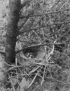 Eliot Porter | Crow's Nest in Tree, [Maine], May 1938