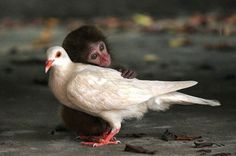 unusual-animal-friendship-monkey-pigeon__700_R