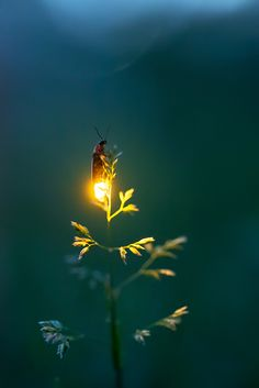Firefly Experience - Photographs of Lightning Bugs and Photos of Fireflies, firefly macro close-up Firefly Photography, Creative Photography, Nature Photography, Photography Gifts, Professional Photography, Beautiful Bugs, Amazing Nature, Beautiful World, Beautiful Creatures