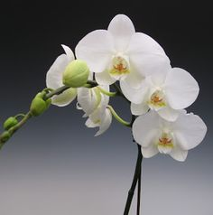 White is the color of snow and when it melts the color dulls just like the fading bloom of a White Phalaenopsis orchid . Novelty phalaenops...