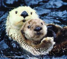 Sea otters are the cuddliest and cutest!