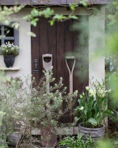 Instagram media by natu.garden - ・ *my garden* ・ おはようございます。 青い空が広がってます。 小屋前がフサフサしてきました♡ ウエストリンギアがちょっと大きくなったような… ・ シルバーリーフの強いウエストリンギア。 見た目はローズマリーに似てるけど香りは無し。 紫色の小花を咲かせて花でも楽しませてくれる。 頼りになるね♡ ・ よい1日を… ・ *・゜゚・*:.。..。.:*・・*:.。. .。.:*・゜゚・* ・ #garden#flowerslovers#gardening#home#instagarden#instapic#gardenpic#nature#fleur#flower#natural#flowerstagram#tulip#photo#ガーデニング#ガーデナー#ガーデン#花#暮らし#ナチュラルガーデン#マイガーデン#庭作り#ナチュラル#庭#花フレンド#花のある暮らし#ザ花部#はなまっぷ#庭いじり#ウエストリンギア
