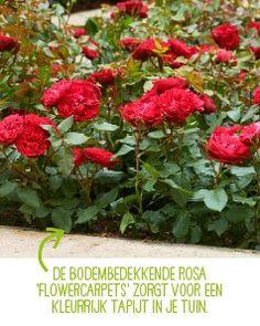 Top 10 mooiste soorten rozen - Intratuin