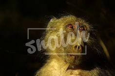 Baboon Baboon, Animal Photography, Pets, Animals, Animales, Nature Photography, Animaux, Animal Pictures, Animal