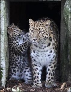 A rare Amur leopard cub, aged 12 weeks, with his mum at Marwell near Winchester
