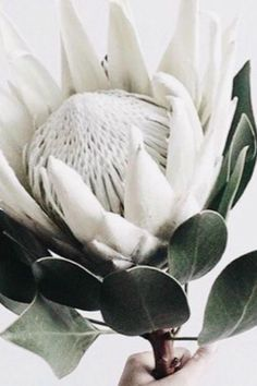 white king protea for a modern touch Protea Art, Protea Flower, Fall Flowers, White Flowers, Beautiful Flowers, White Roses, Protea Wedding, King Protea, Organic Plants