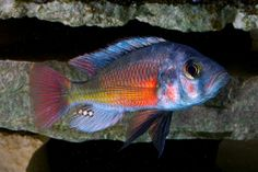 "Name:    Haplochromis sp. ""fire"""