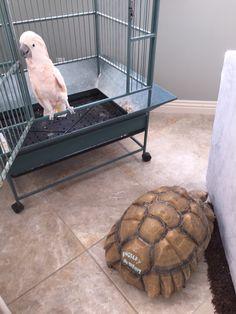 The Mollucan Cockatoo & the Sulcata tortoise (Hula & Kingsley)