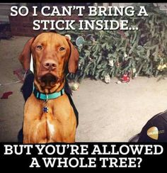 TOTALLY my Vizsla pups.... lol Vizsla Funny, Funny Dogs, Cute Dogs, Lap Dogs, Dogs And Puppies, Vizsla Puppies, Weimaraner, Beagles, Doggies