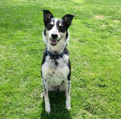 Meet CHARLIE a Petfinder adoptable Border Collie Dog | Franklin, TN | Charlie is a very well behaved 2-3 year old Border Collie mix that weighs 48 pounds and tolerates...