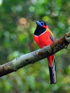 Red-naped Trogon, found in Brunei, Indonesia, Malaysia, Singapore, & Thailand.. saksfifthavenue.com