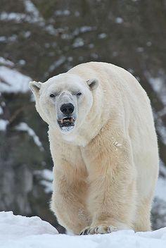 polar bear Troll. Wow, came to the wrong neighborhood...