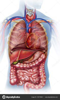 Torna ellen a mulasztás belső szervek, amikor a fogyás